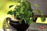 use-plantas-para-se-proteger-mosquitos